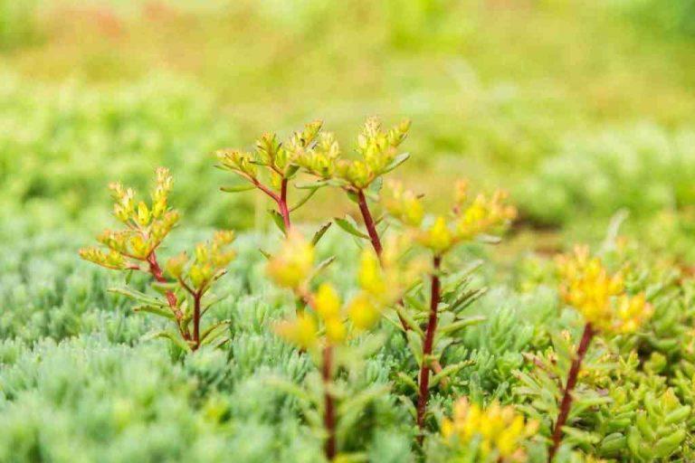 Седум Флориферум | Sedum Floriferum Weihenstephan