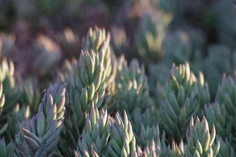 Седум Рефлексум | Sedum Reflexum Blue Spruce